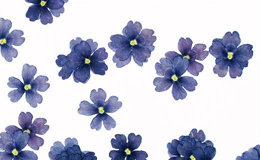Fiori commestibili secchi di verbena blu - Neworks