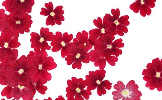 Fiori commestibili secchi di verbena rossa - Neworks