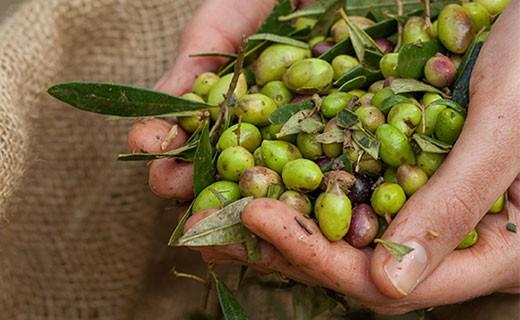 Olio extra vergine d'oliva - primizia - Kalios